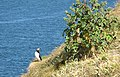 Puffin and tree mallow - geograph.org.uk - 1364126.jpg