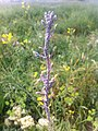 Pulgones en Brassica.jpg