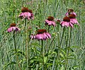 Purple Coneflowers (7449938612).jpg