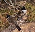 Pycnonotus jocosus -London Zoo, England-8a (1).jpg