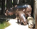 Pygmy Hippopotamus with the young.jpg