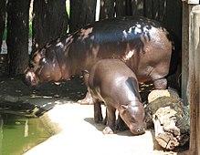 Pygmy hippopotamus - Wikipedia