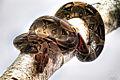 Python regius on a branch.jpg