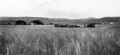 Queensland State Archives 4102 Harvesting wheat Allora Darling Downs c 1930.png