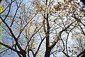 Quercus acutissima 25zz.jpg