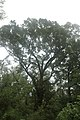 Quercus laurifolia (23842009949).jpg