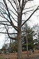 Quercus macrocarpa (23824083969).jpg