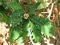 Quercus petraea iberica 2.jpg