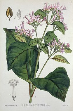 Quinine plant from medicinal plants by Robert Bentley, 1880. Wellcome L0019168.jpg