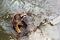 Raccoon (24707180639).jpg