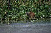Raccoon in bayou.jpg