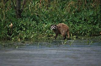 Delta National Wildlife Refuge - Raccoon photographed in the Delta National Wildlife Refuge in Louisiana
