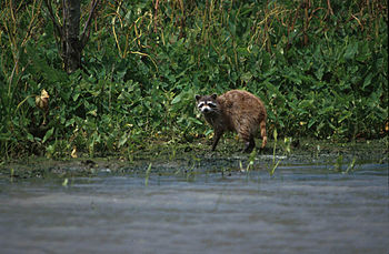 English: Raccoon photographed in the Delta Nat...