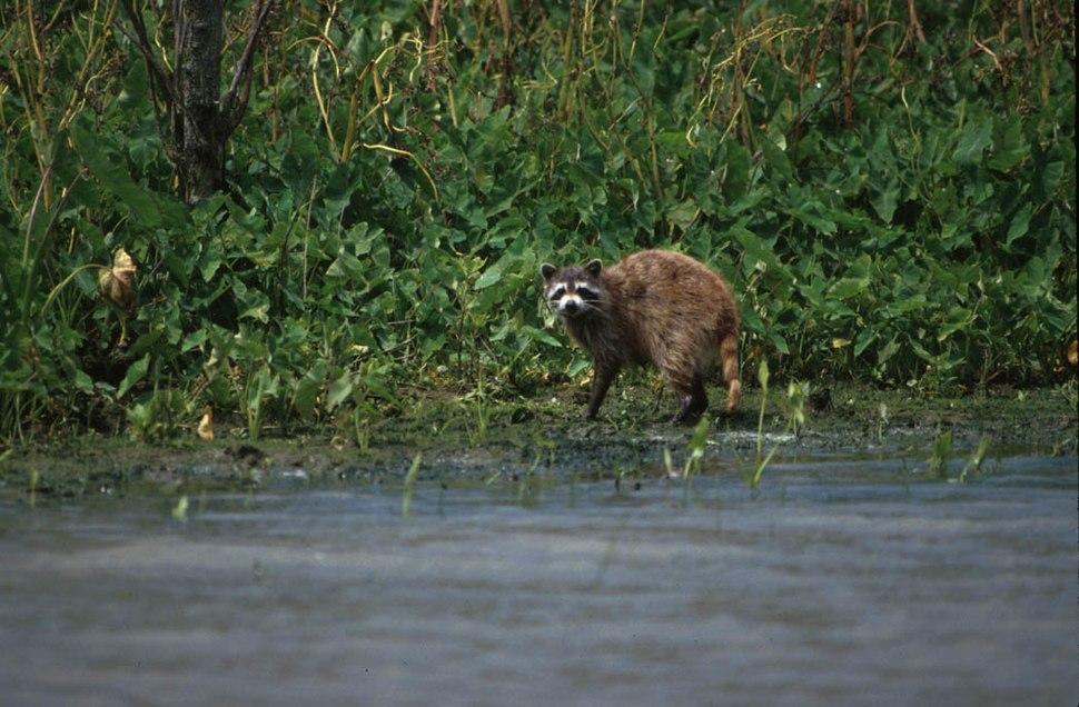 Raccoon in bayou