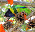Rainbow lorikeet in tree.JPG