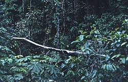 Rainforest at edge of logging, Liberia 1968.jpg
