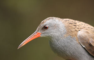 Water rail - Head of the nominate subspecies, R. a. aquaticus