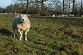 Ram and ewes, Spetchley - geograph.org.uk - 1083319.jpg