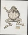 Rana maculosa - 1700-1880 - Print - Iconographia Zoologica - Special Collections University of Amsterdam - UBA01 IZ11500161.tif