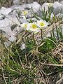 Ranunculus alpestris.jpg