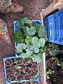 Ranunculus cortusifolius - Flickr - peganum (6).jpg