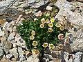 Ranunculus glacialis 01.JPG