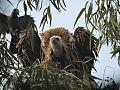 Rare Vulture (Giddha) On UKliptus Tree.jpg