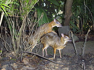 Chevrotain - Mating mouse-deer