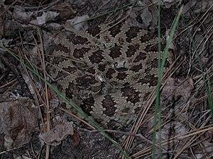 Rattlesnake (Marshal Hedin).jpg