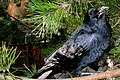 Raven, Vancouver, BC (8439911005).jpg