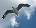 Red-billed Gull in flight.jpg