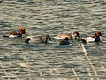 Red-crested Pochard (Netta rufina), Gadwall (Anas strepera) & Eurasian Coot (Fulica atra) (33164735631).jpg