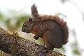 Red-tailed Squirrel (Sciurus granatensis) 2015-06-05 (6) (39599291354).jpg