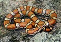 Red Milk Snake (Lampropeltis triangulum syspila) (14038551848).jpg