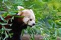 Red Panda (36790368724).jpg
