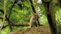 File:Red fox (Vulpes vulpes) kit.webm