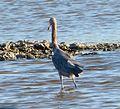 Reddish Egret . Egretta rufescens - Flickr - gailhampshire (1).jpg