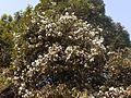 Redi Jambul (Konkani- रेडी जांभूळ) (6776663108).jpg
