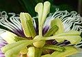 Reproductive organs Passiflora edulis 03.jpg