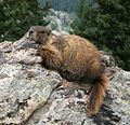 Resting Marmot in Colorado.jpg