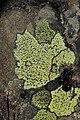 Rhizocarpon sp. (43746102904).jpg