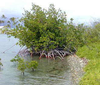 Pygmy three-toed sloth - Pygmy three-toed sloths live on red mangroves.