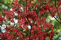 Rhododendron Antares 1zz.jpg