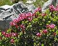 Rhododendron hirsutum 250708.jpg