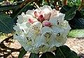 Rhododendron sinogrande - Caerhayes Castle gardens - Cornwall, England - DSC03036.jpg