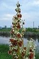 Rhubarb (Rheum rhabarbarum) - Thunder Bay, Ontario 01.jpg
