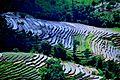 Rice farming at ilam.jpg