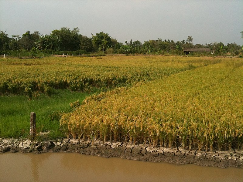 Tập tin:Rice fields in Can Tho 01.JPG