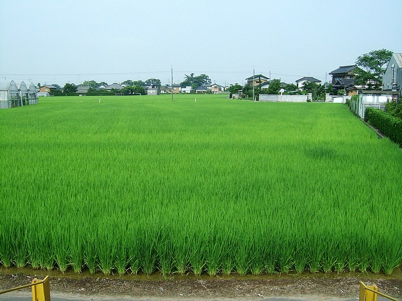 Fichier:Rice paddy fields near Tamamura Station Ibaraki Japan 20080715.jpg
