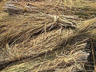 Straw agricultural byproduct of cereal crops